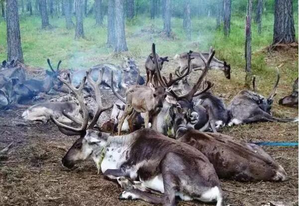 呼伦贝尔大草原驯鹿