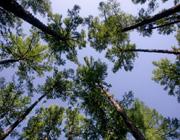 中国最美的纯生白桦林额尔古纳市白桦林风景区