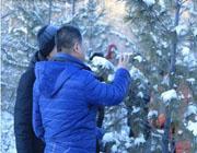 俄罗斯专家来阿龙山视察西伯利亚红松