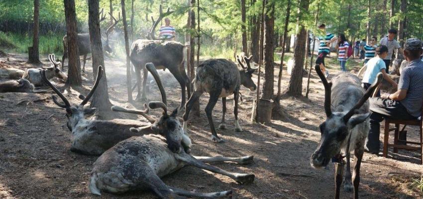根河市敖鲁古雅使鹿部落驯鹿