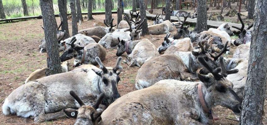 呼伦贝尔根河市敖鲁古雅使鹿部落景区驯鹿