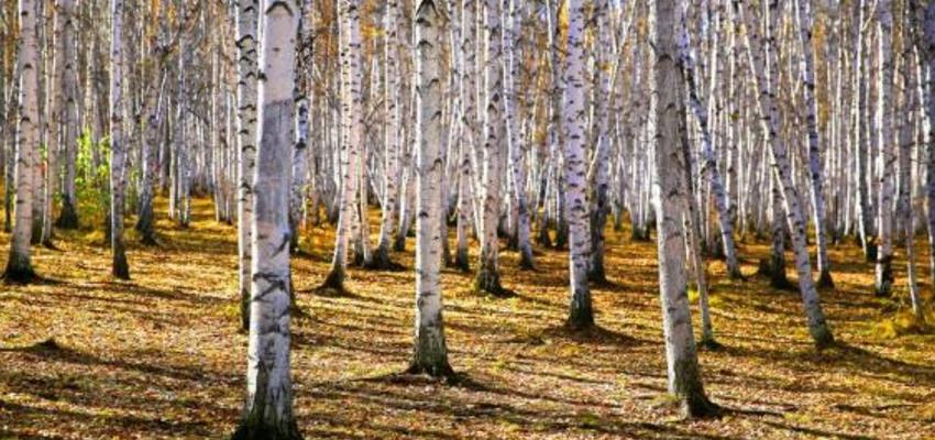中国最美的纯生白桦林