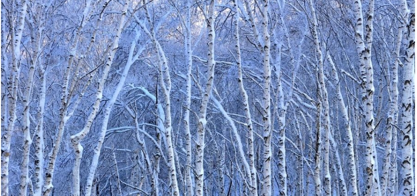 纯生白桦林风景区