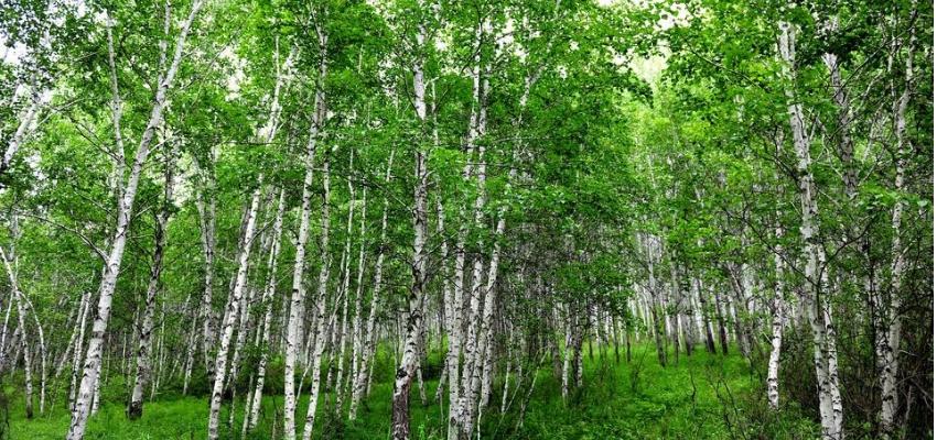 额尔古纳市白桦林风景区
