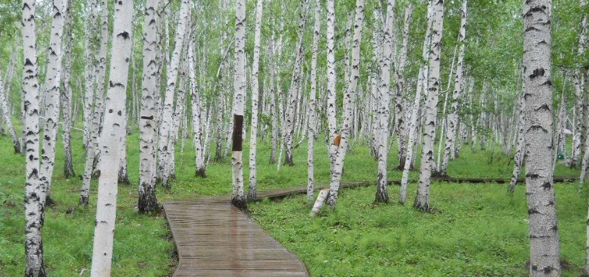 中国最美的额尔古纳市白桦林风景区