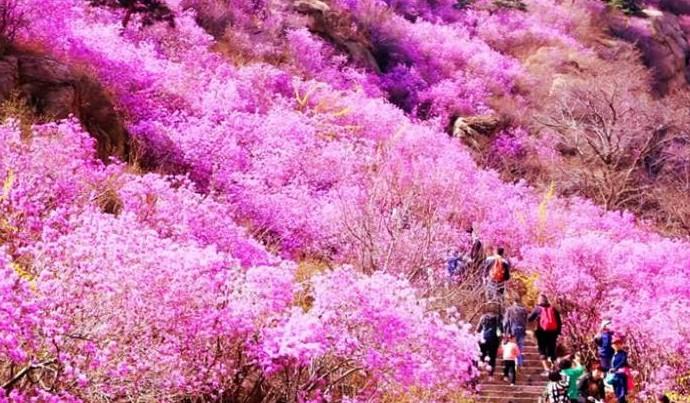 扎兰屯杜鹃赏花季旅游