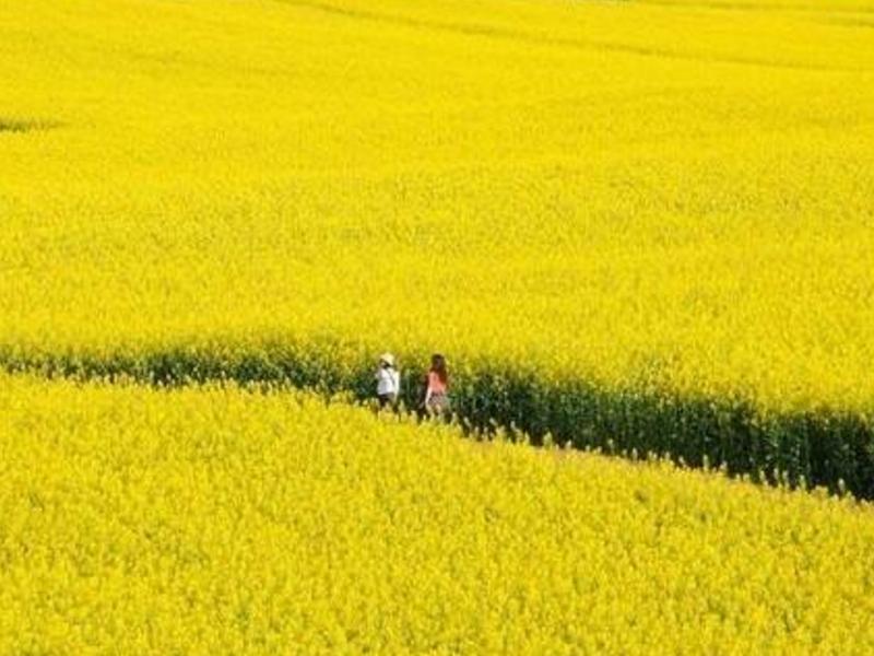 7天6晚呼伦贝尔-阿尔山-室韦-莫尔道嘎旅游路线油菜花