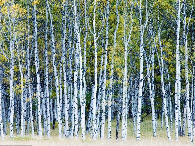 呼伦贝尔拉布大林开通到额尔古纳湿地公交旅游专线白桦林