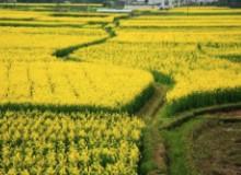 呼伦贝尔油菜花海图片大全 堪比江南美景