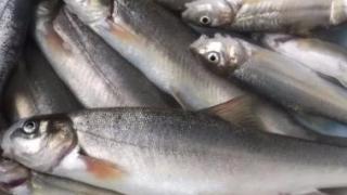 呼伦贝尔大兴安岭冷水鱼有哪些介绍