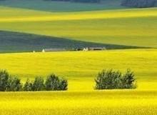 七月呼伦贝尔草原赏油菜花线路
