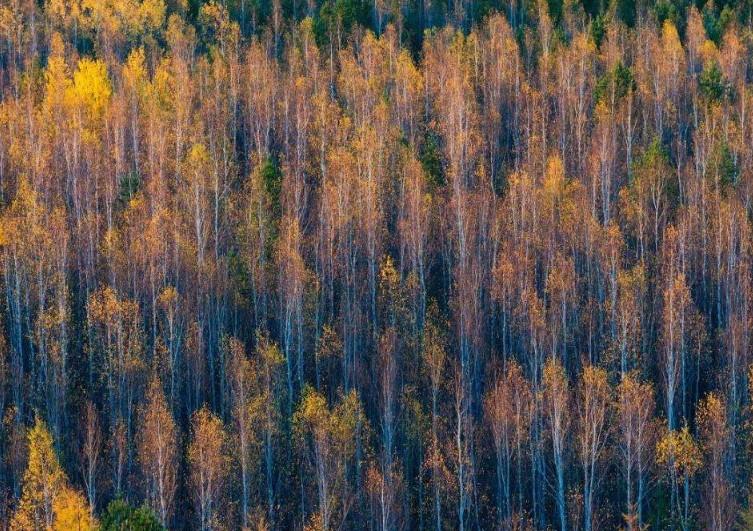 呼伦贝尔白桦林景区