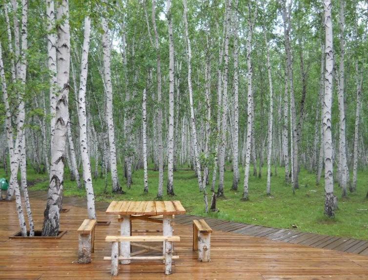 呼伦贝尔旅游白桦林