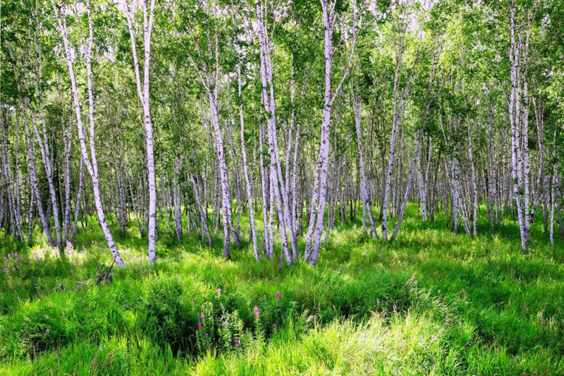 呼伦贝尔额尔古纳旅游攻略必玩的景点白桦林景区