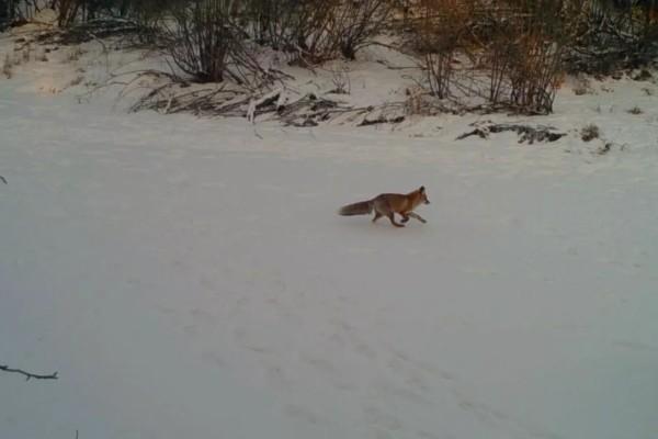 额尔古纳湿地极寒天气下的湿地动物