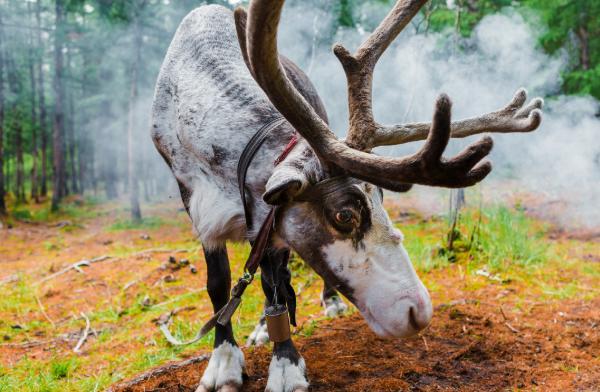 敖鲁古雅使鹿部落