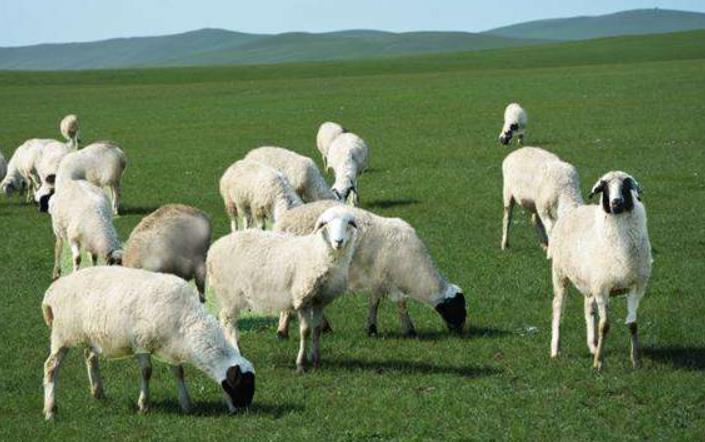 呼伦贝尔的羊肉为什么那么好吃?