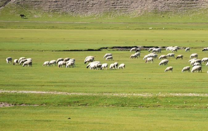 呼伦贝尔大草原的羊肉好吃吗?