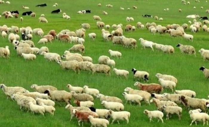 呼伦贝尔草原的羊肉怎么样?