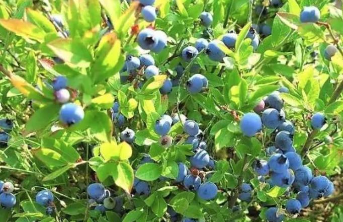 呼伦贝尔特产美食蓝莓详细介绍