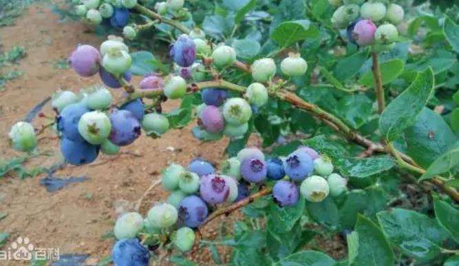 呼伦贝尔特产美食蓝莓图片