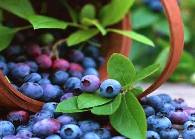 呼伦贝尔特产蓝莓介绍